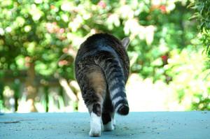 achterste-kat